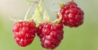 Does the Raspberry Ketone Diet Work?