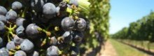 Wine guide: Pinot Noir