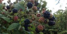 Blackberries: free fruit on your doorstep