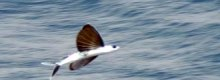 Flying fish : 45 second in air record