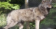 Colchester Zoo Wolf on the Loose in Essex Streets