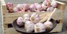Health benefits of eating garlic daily