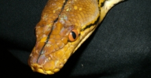 Dreaming of snakes? Check its meaning