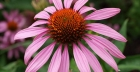 Does Echinacea work?