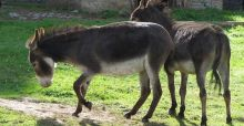 Donkey meat feared to be involved in horsemeat scandal