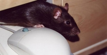 Electronic pest control for rodents