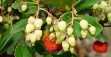 Evergreen garden plants: the Strawberry Tree