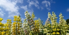 Tree lupins growing tips