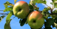 Growing fruit trees for small gardens
