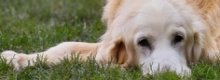 E&L offers comprehensive pet insurance for older dogs
