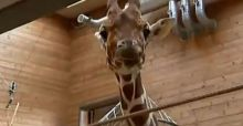 Second Danish zoo is  planning to kill another giraffe named Marius