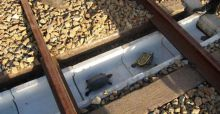 Special tunnels built in Japan to avoid turtle train deaths