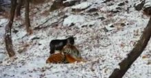 Goat Becomes Friends With Tiger At Zoo