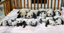 Panda births make China cute again
